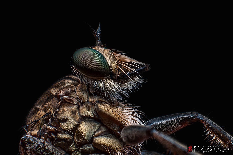 Robberfly by Sulakkhana Chamara
