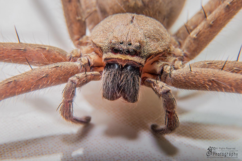 Domestic Huntsman Spider ( Heteropoda venatoria) by Sulakkhana Chamara