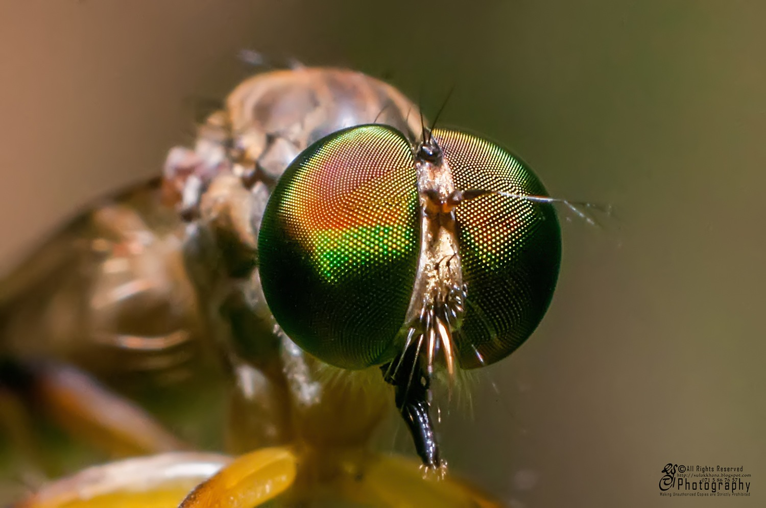 Compound Eye of a Robber Fly by Sulakkhana Chamara