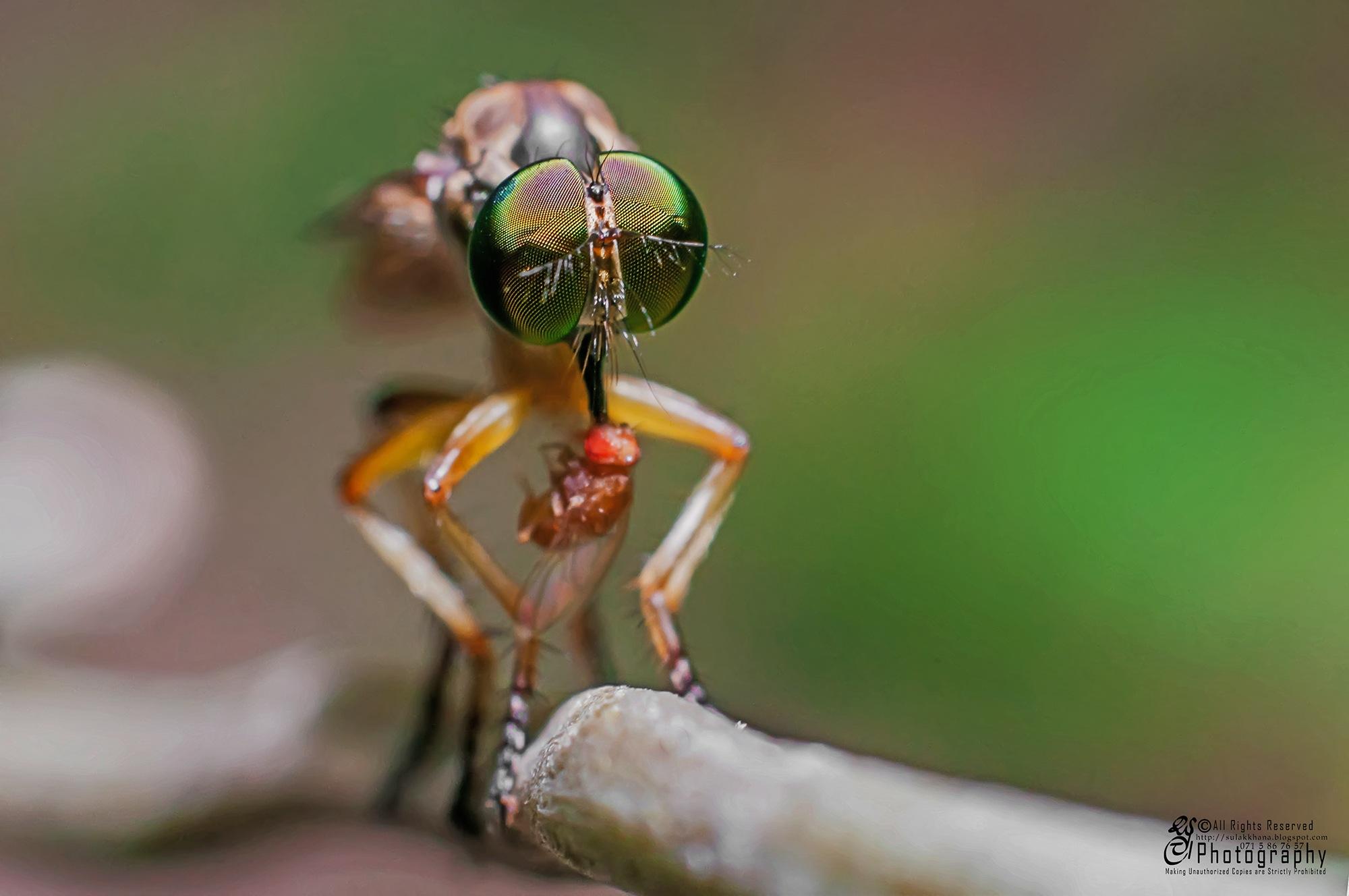 RobberFly Prays on Fruit Fly by Sulakkhana Chamara