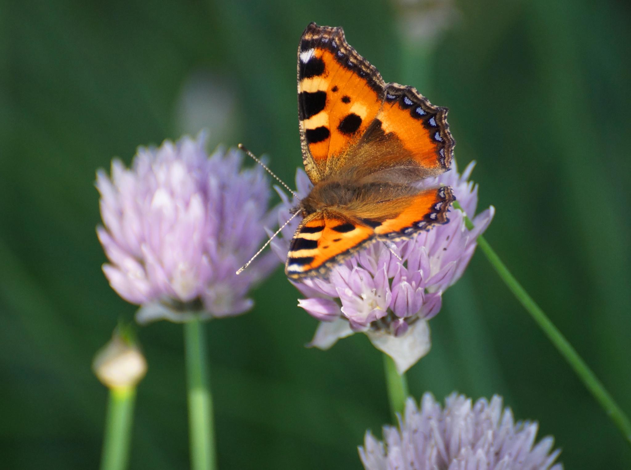 butterfly by Veronika  Parfenyuk