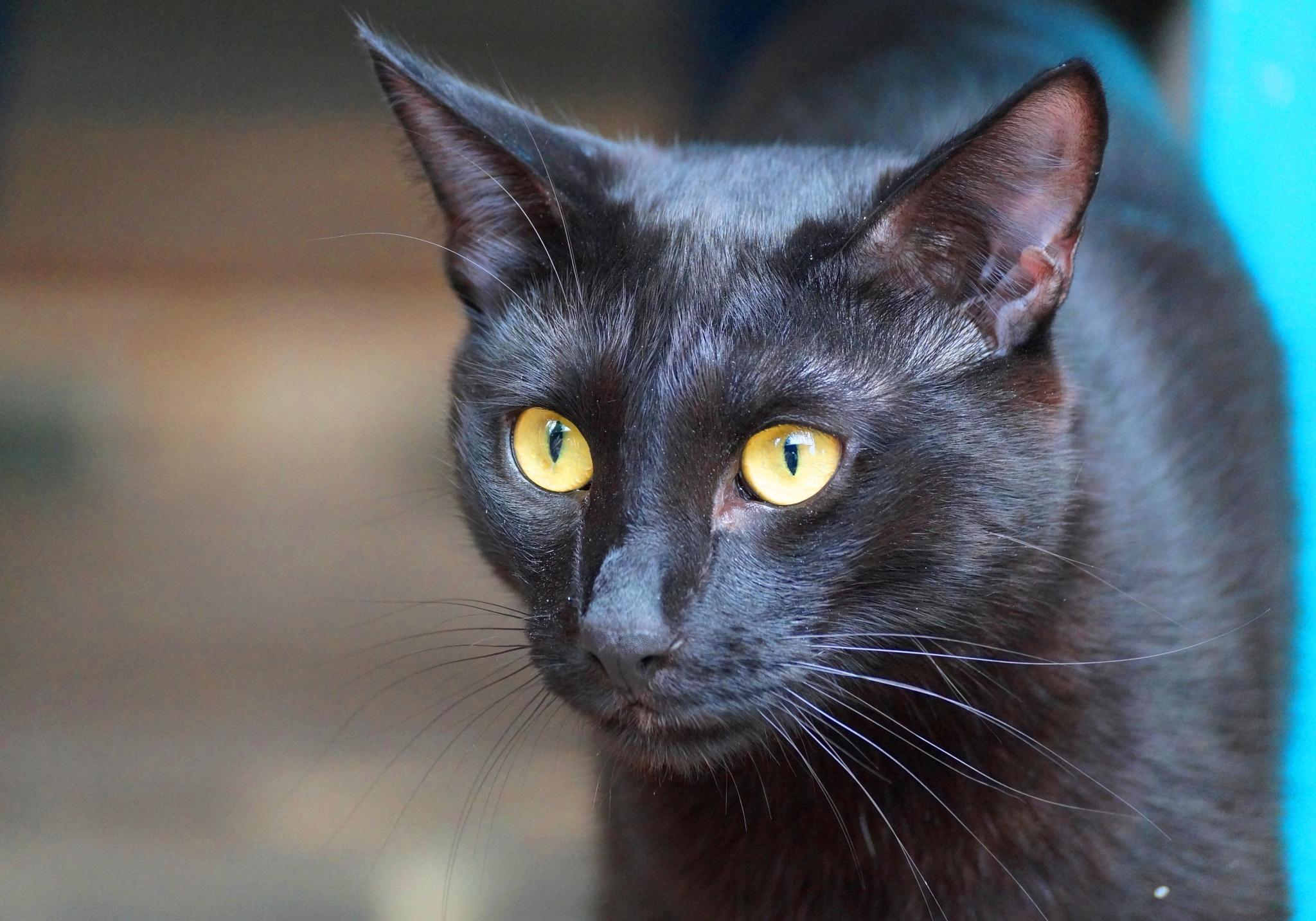 black cat by Veronika  Parfenyuk