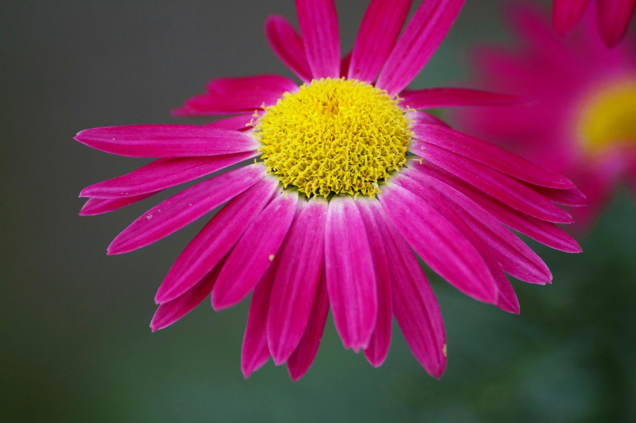 pink Daisy by Veronika  Parfenyuk