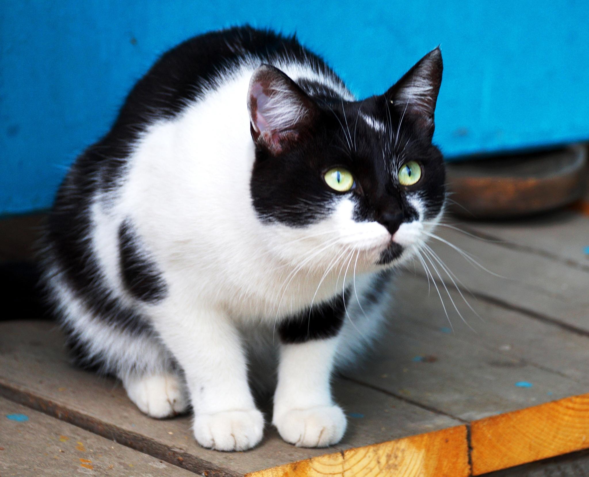 cat Murka by Veronika  Parfenyuk