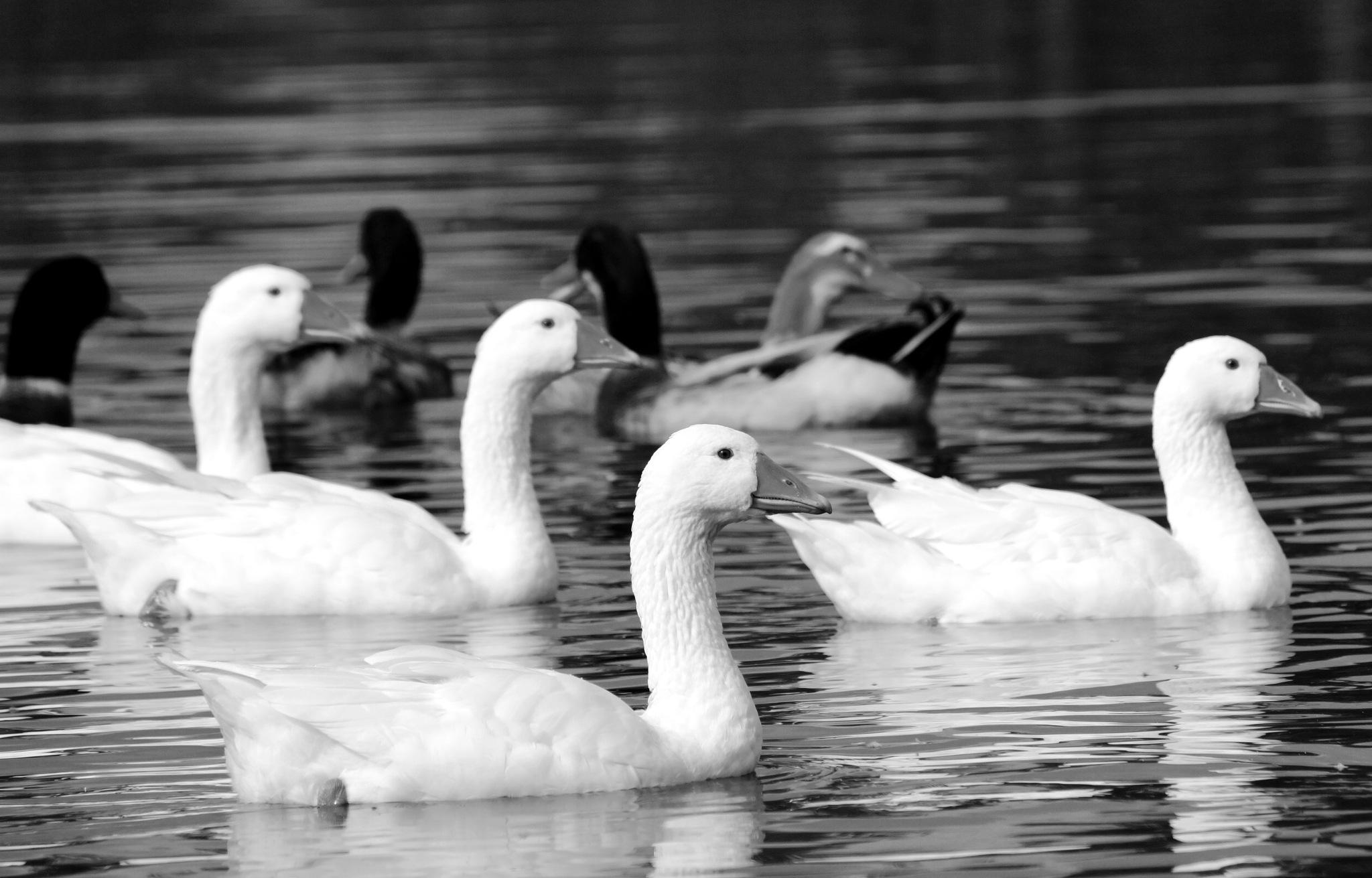 geese by Veronika  Parfenyuk