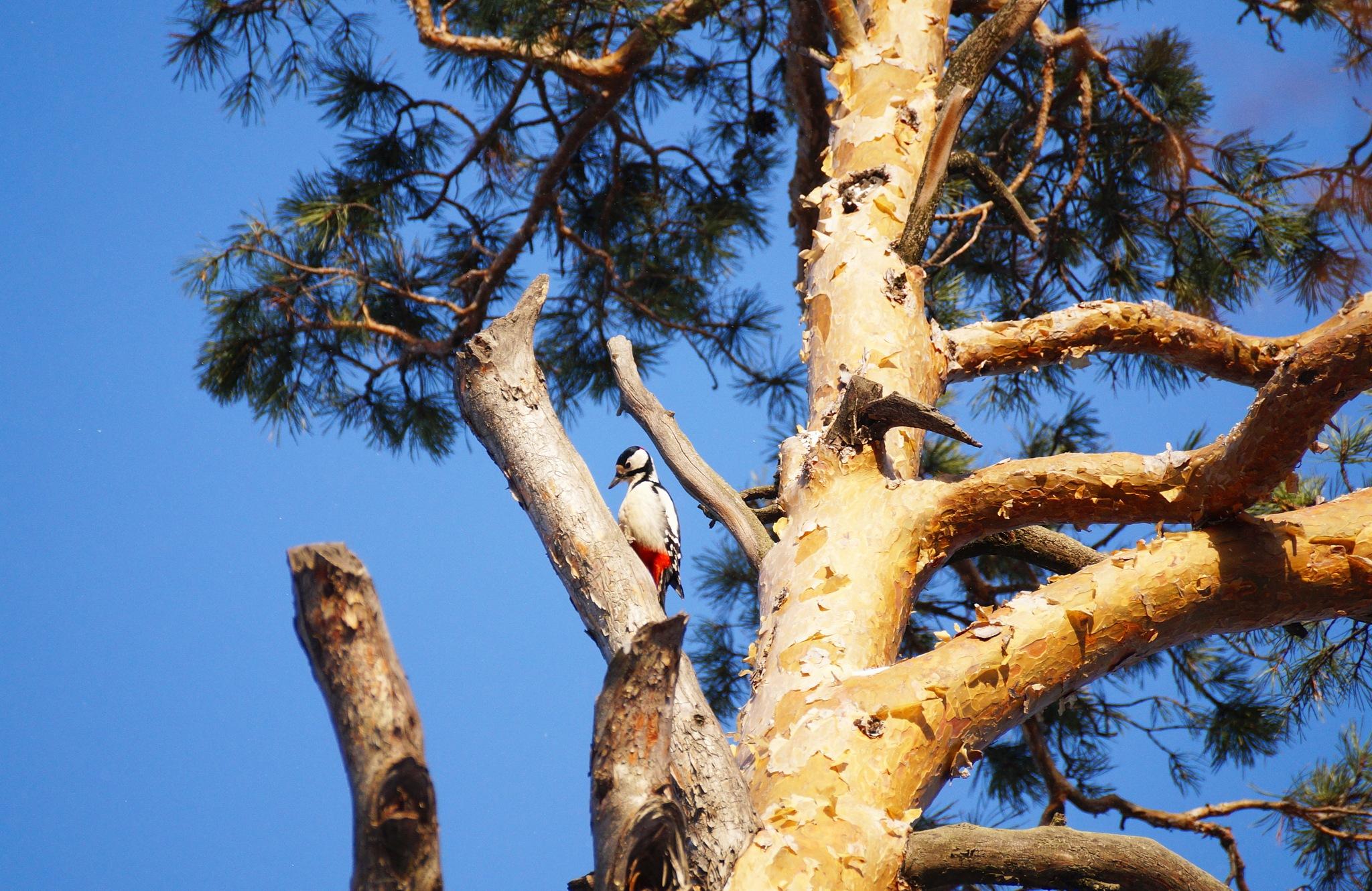 spotted woodpecker by Veronika  Parfenyuk