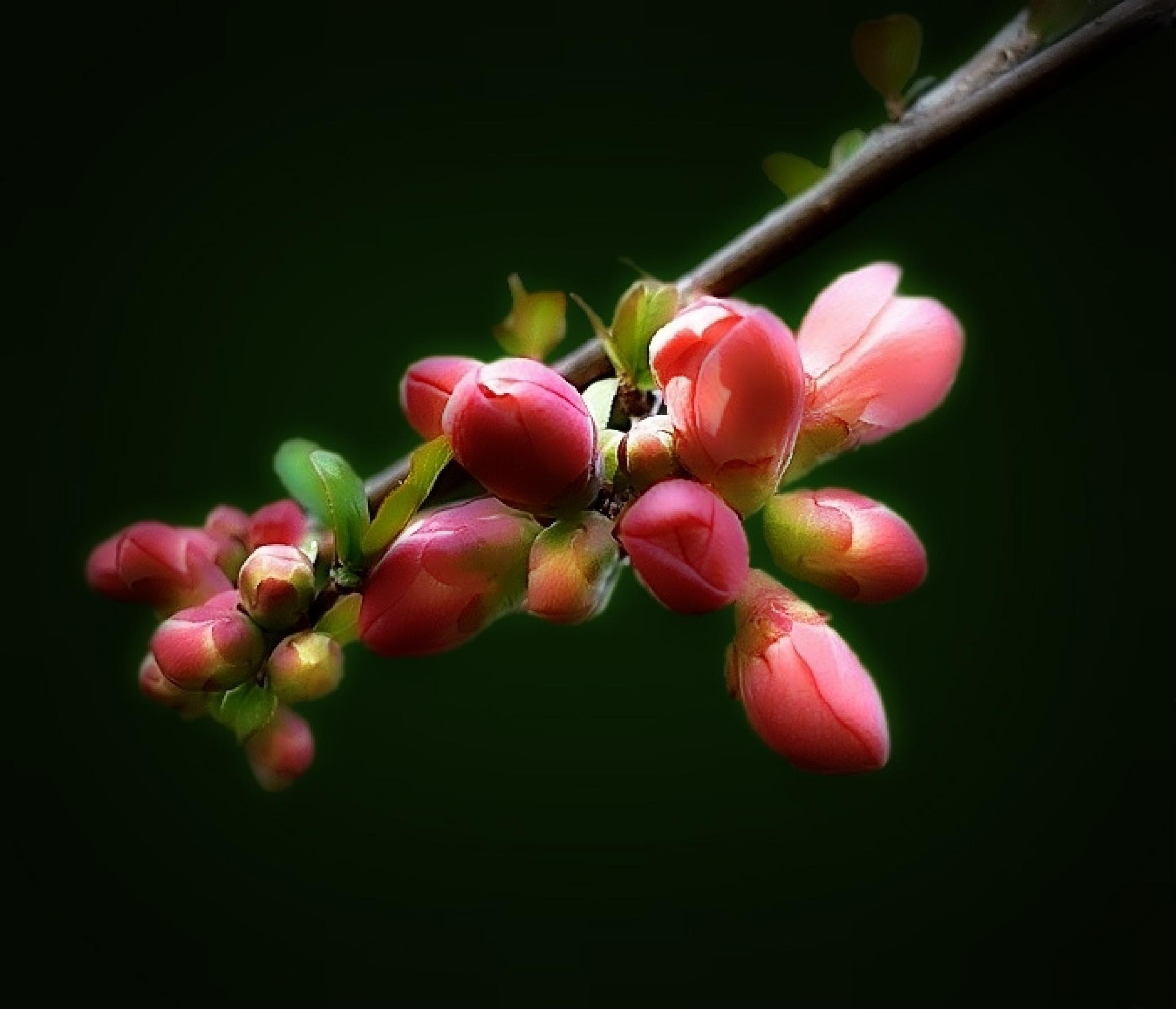 Japanese quince by Gabriella