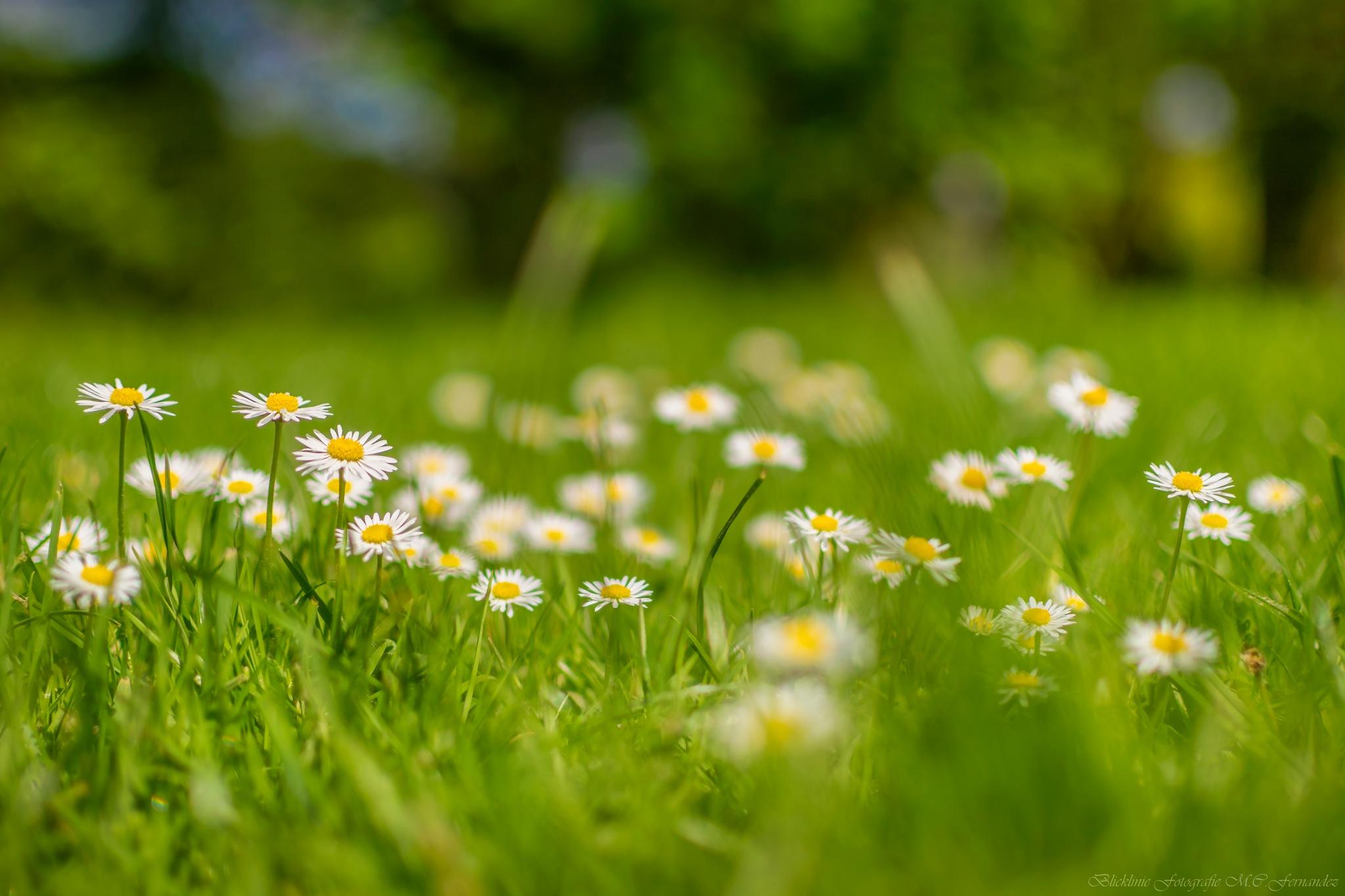 daisy by Blicklinie