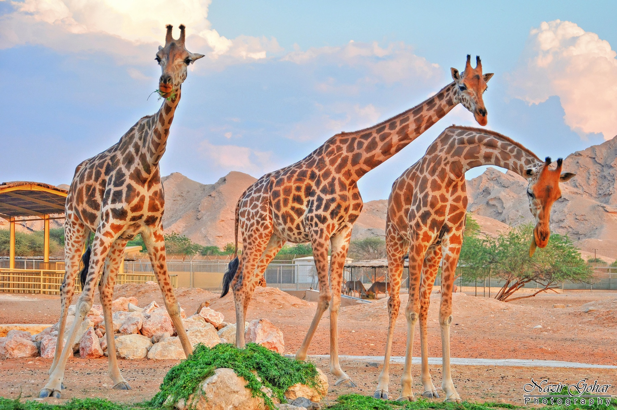 Giraffe 2 by Nazir Gohar