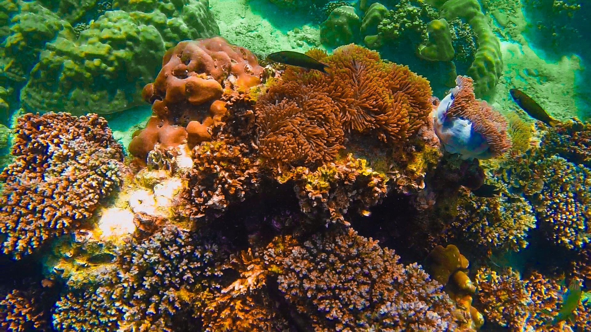 Corals and anemones of Ko Lipe by Larry Von Zemmrich