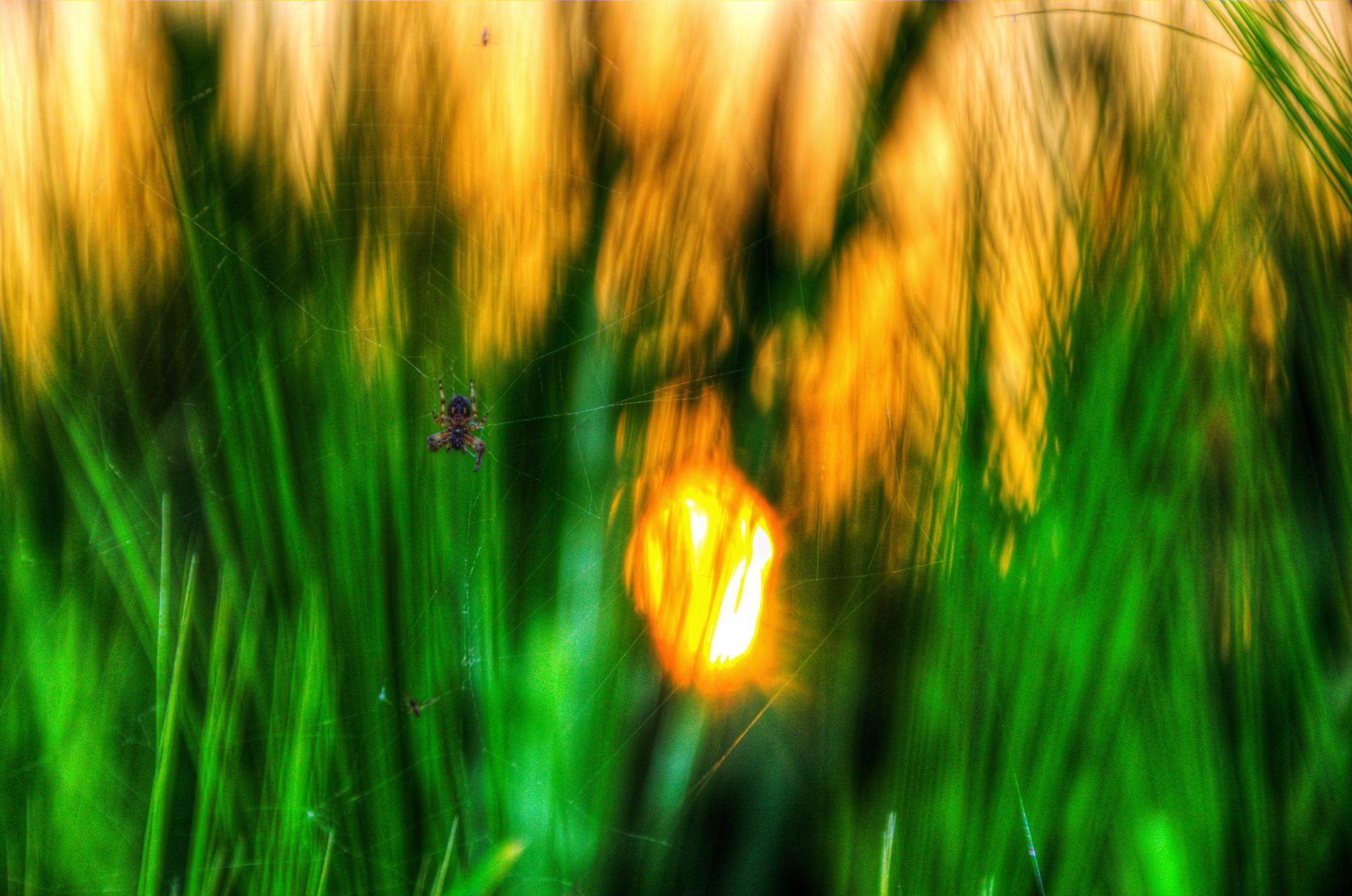 spider by pixelreflex