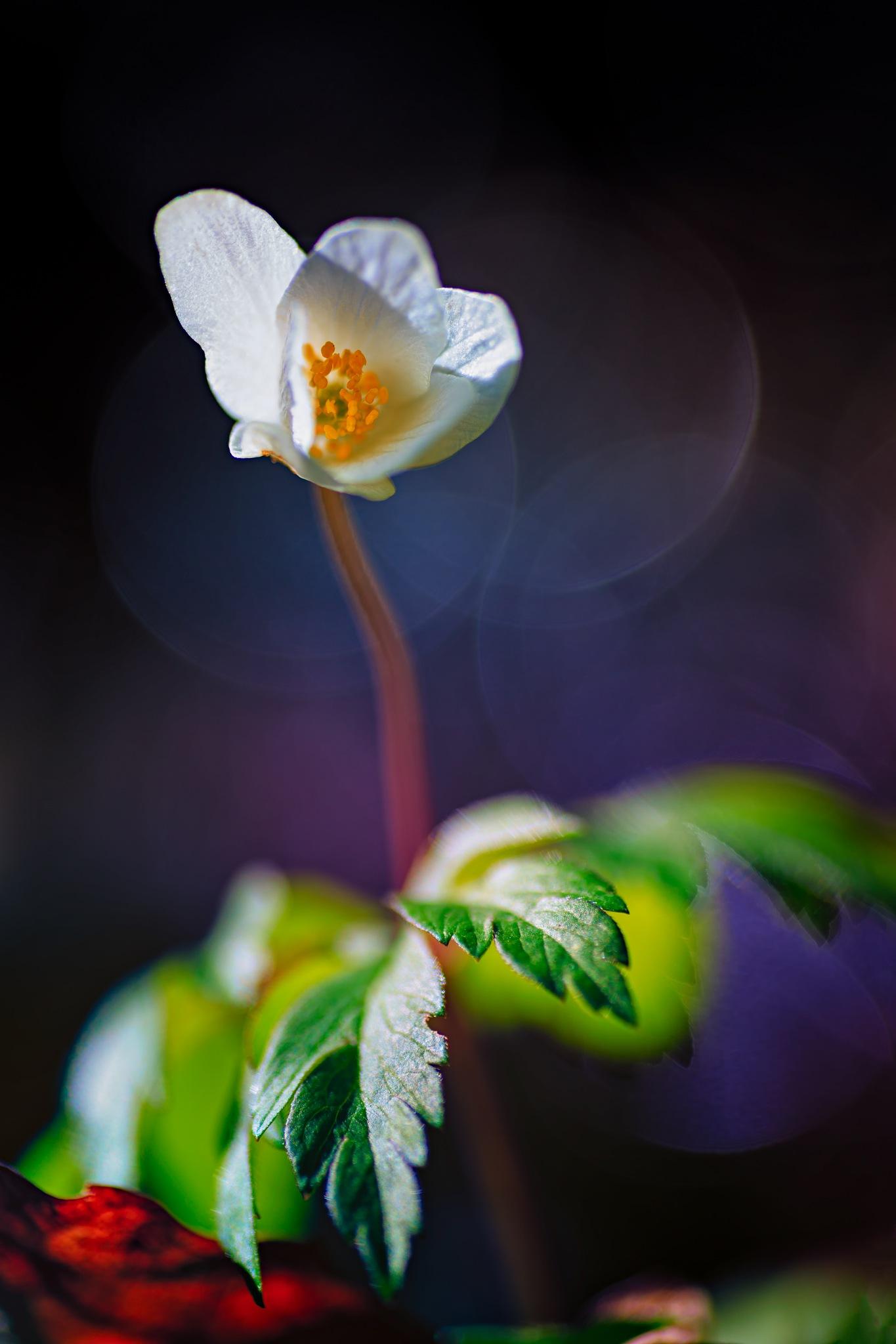Wood Anemone (Anemone nemorosa) by Mikael Jakobsson
