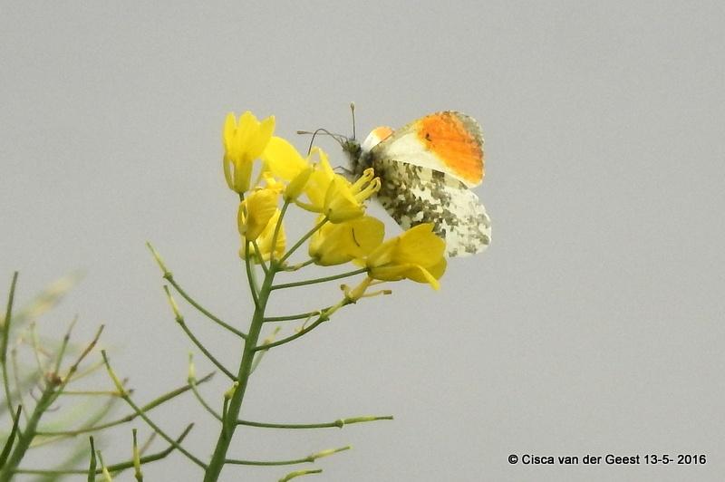Oranjetipje by Cisca van der Geest
