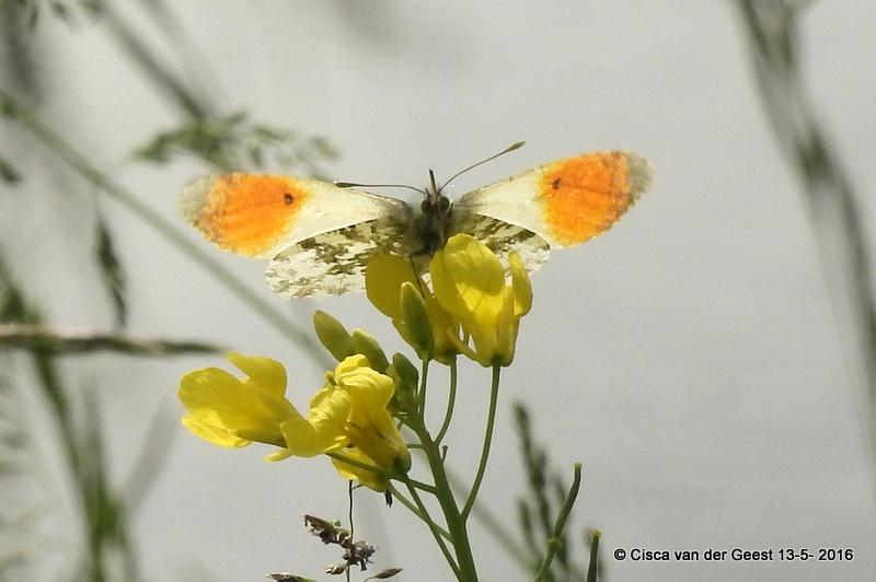 Oranjetipje klaar om weg te vliegen by Cisca van der Geest