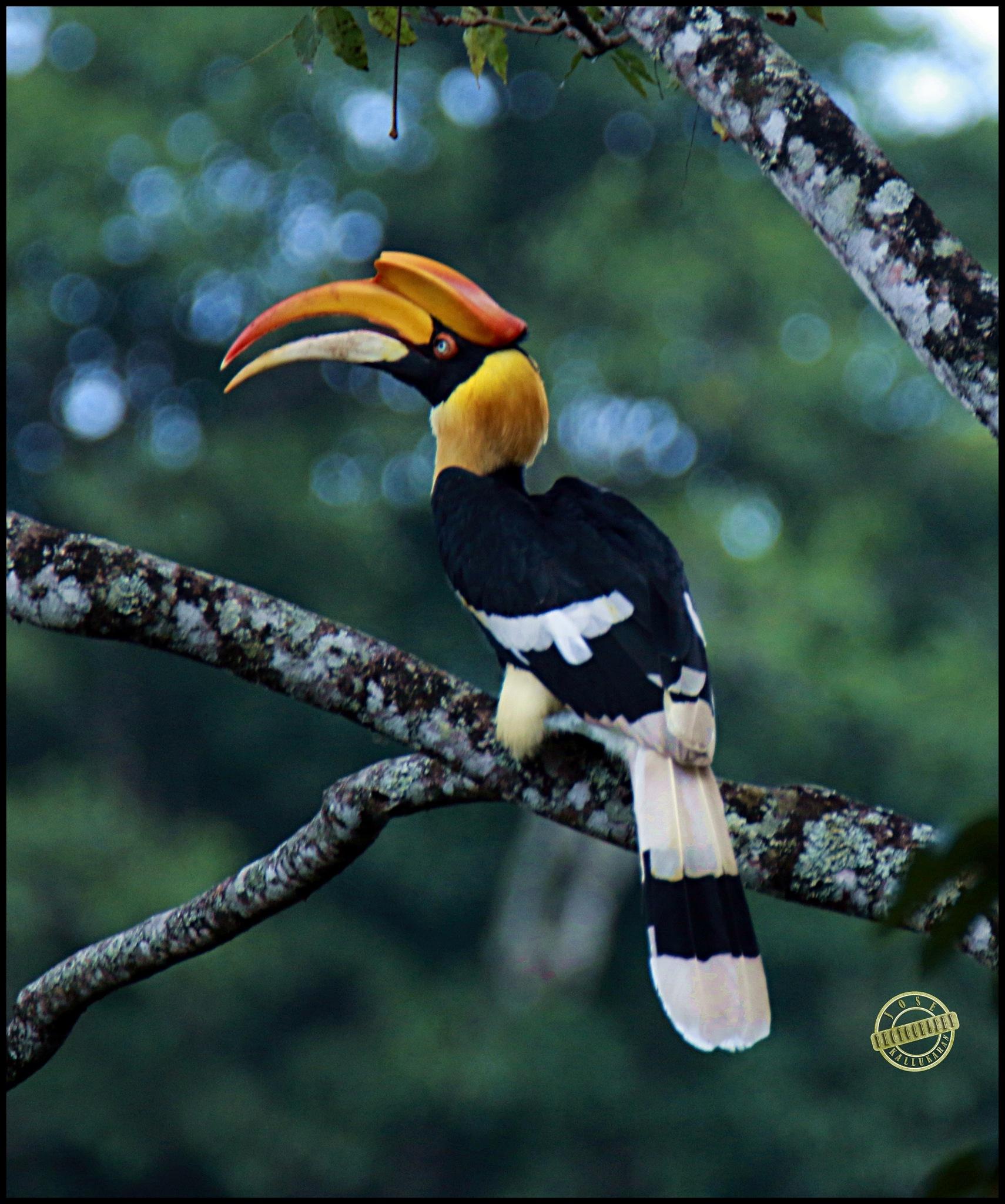 Great Hornbill by Josekallukaran Kallukaran