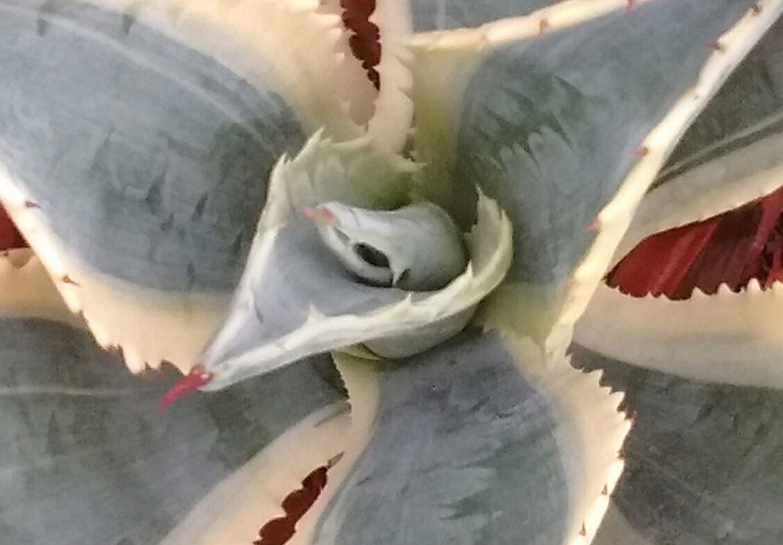 agave by Valerie Hall