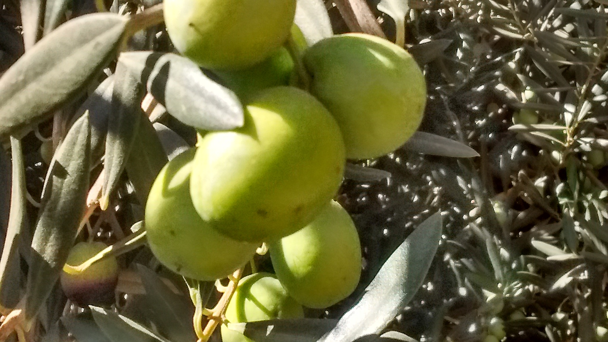 Olives by Valerie Hall