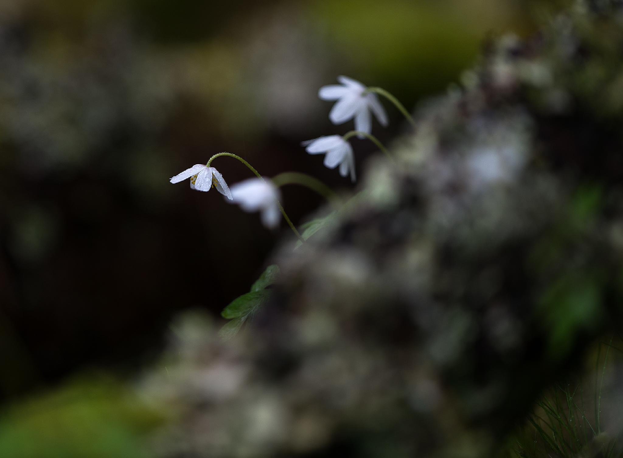 Wood anemone by EbbaTorsteinsen Jenssen