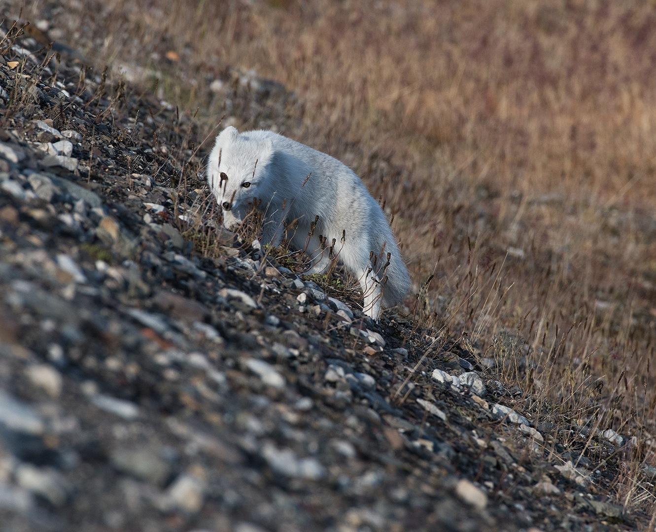 Arctic fox by EbbaTorsteinsen Jenssen