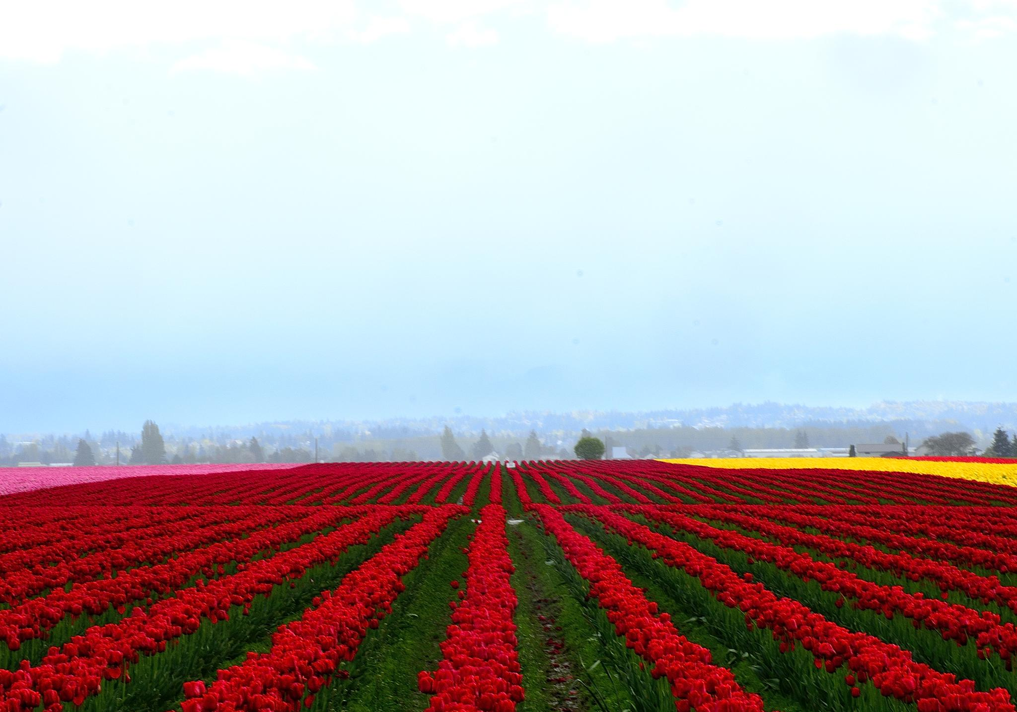 Tulip Fields by JohnFantiniPhotography