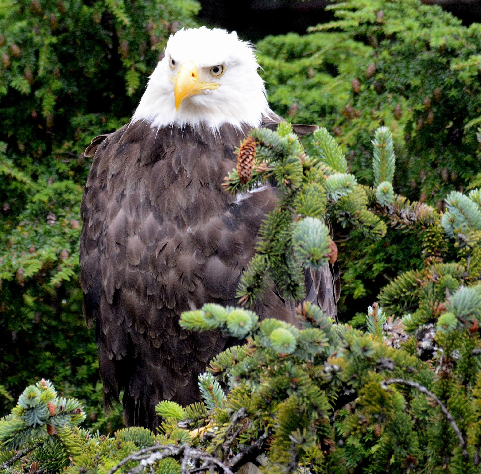 American Bald Eagle by JohnFantiniPhotography