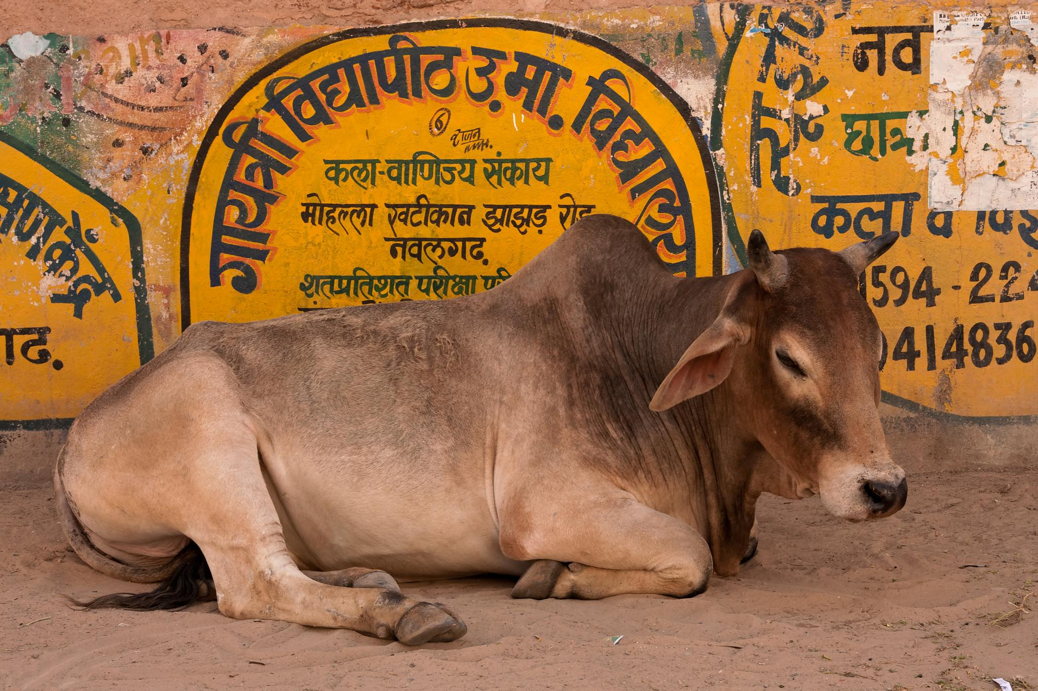 sacred cow in india by Patrice Sarzi
