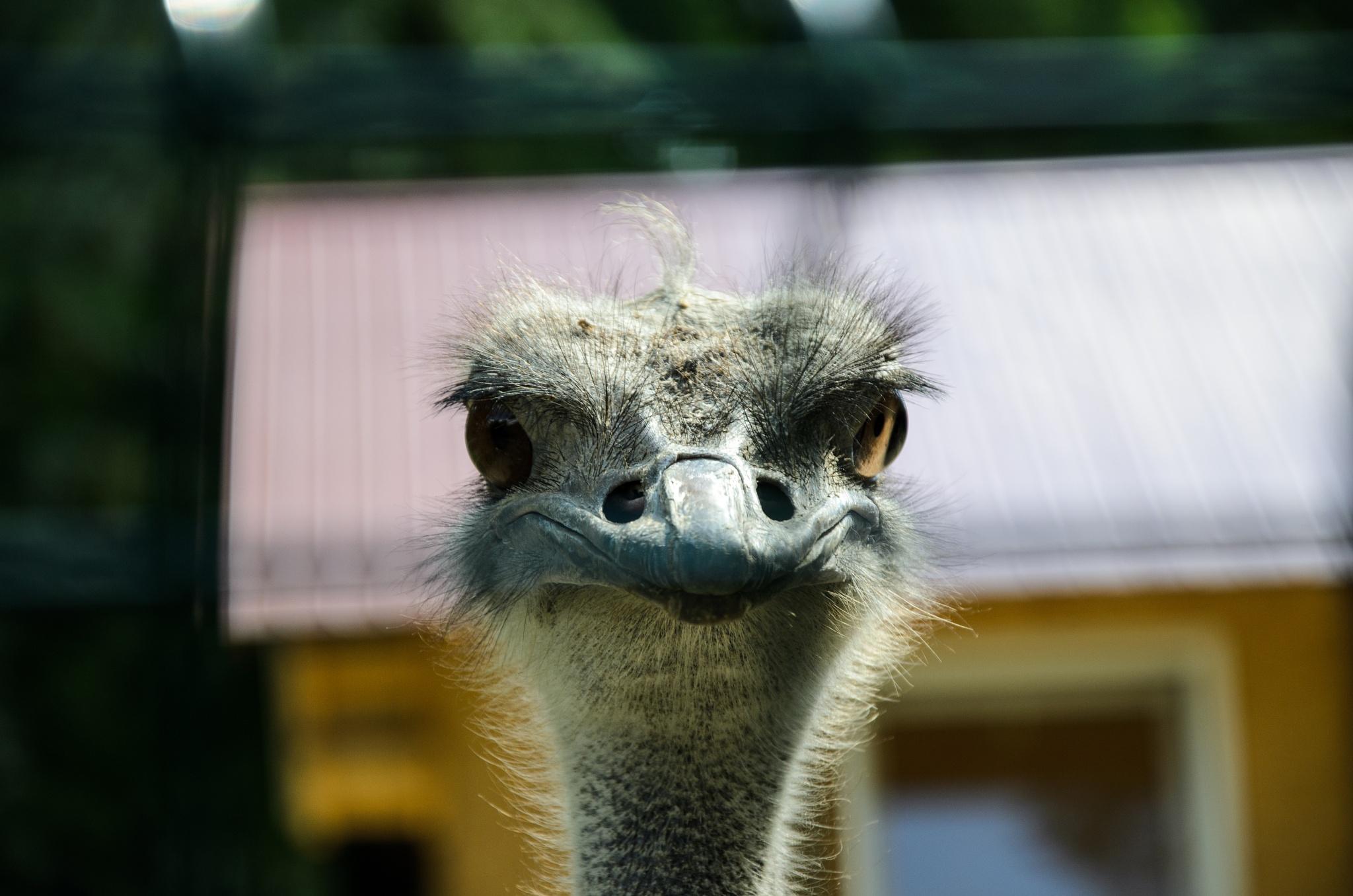 Curious ostrich by George Enciu