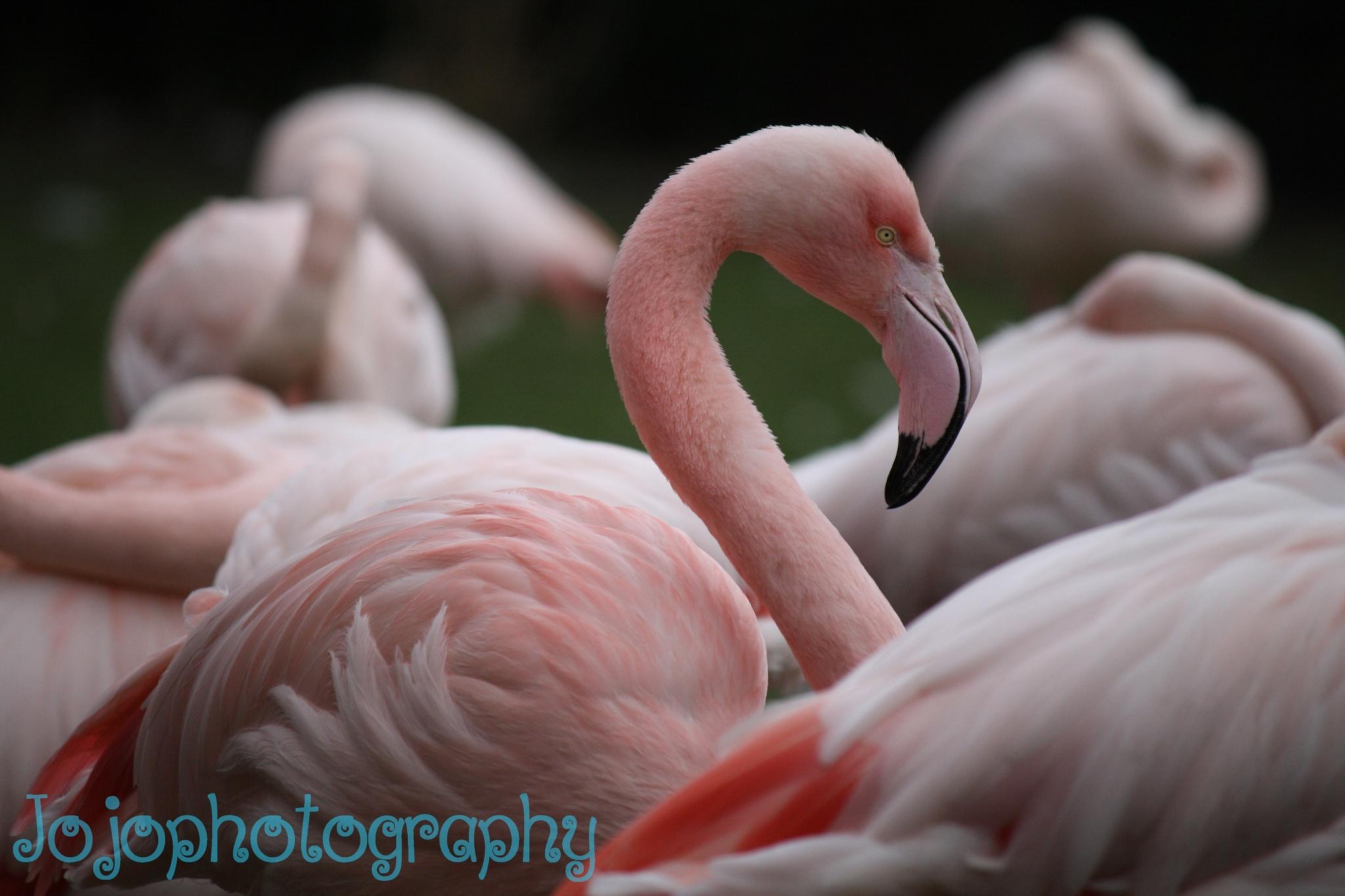 Flamingo by Jojophotography