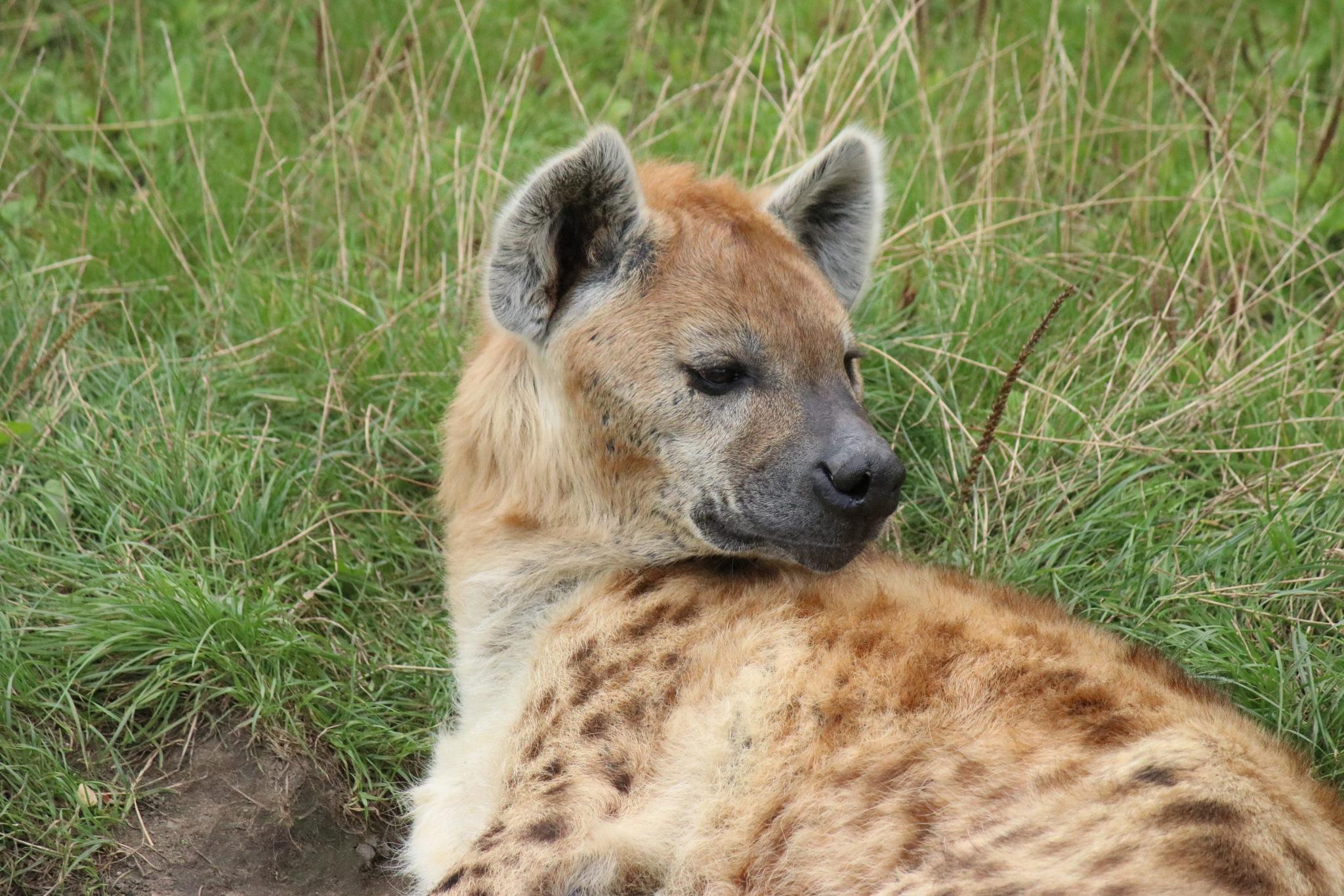 Hyena by Jojophotography