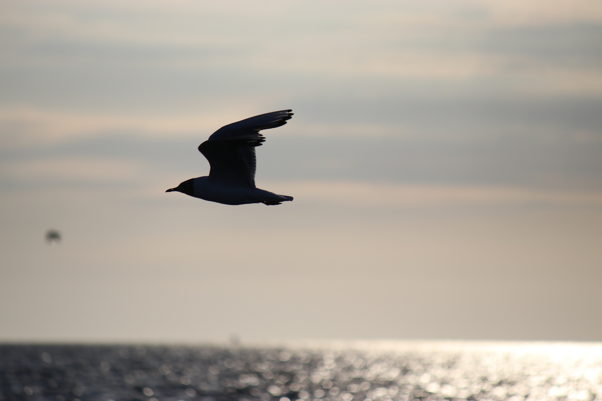 seagull by Jojophotography