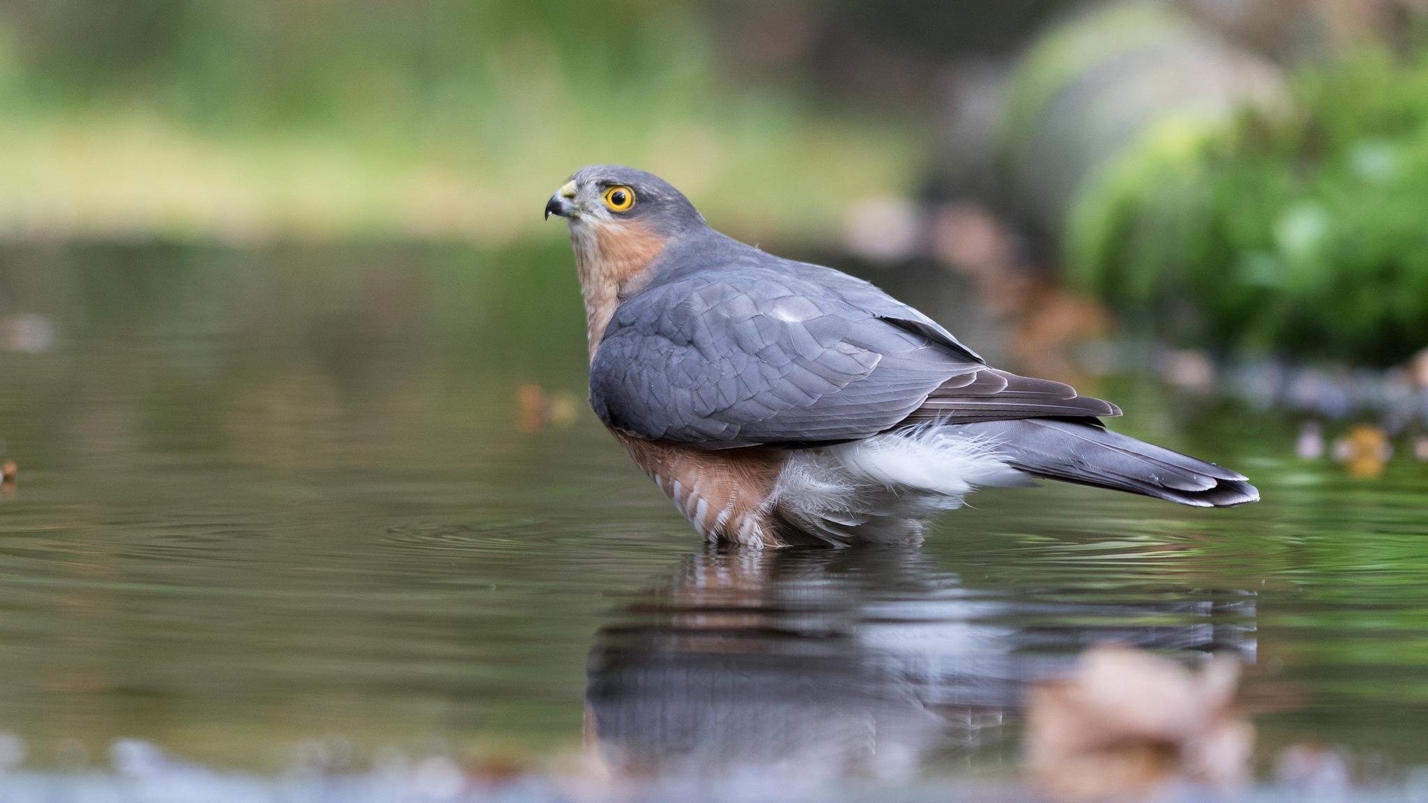 Eurasian sparrowhawk taking a bath by Anton Lemmers