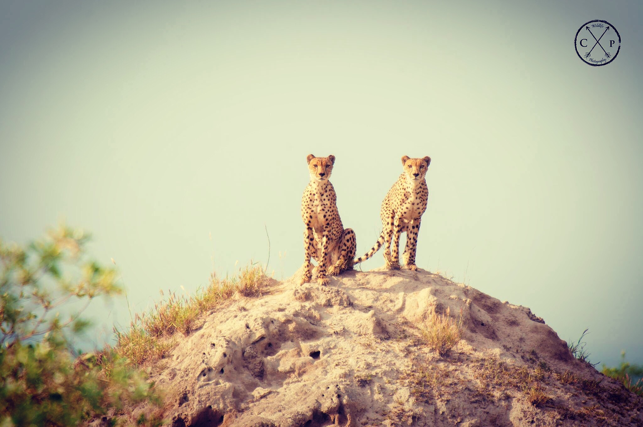 Cheetah Brothers - Kruger Park by CPWildlifePhotography