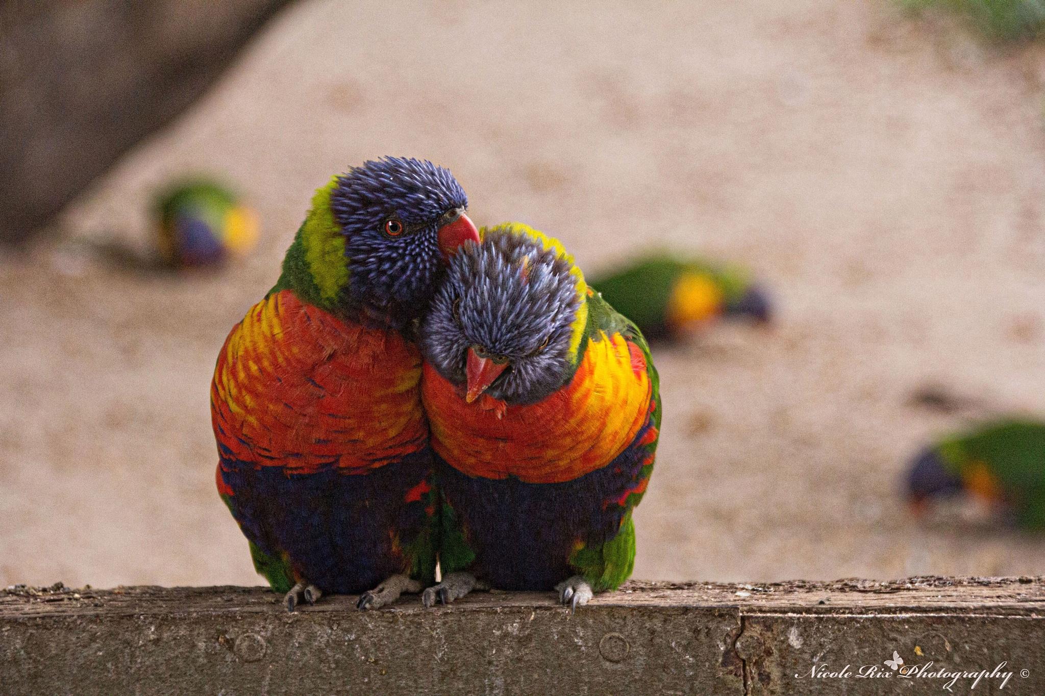 rainbow lorikeets by Nicole Rix