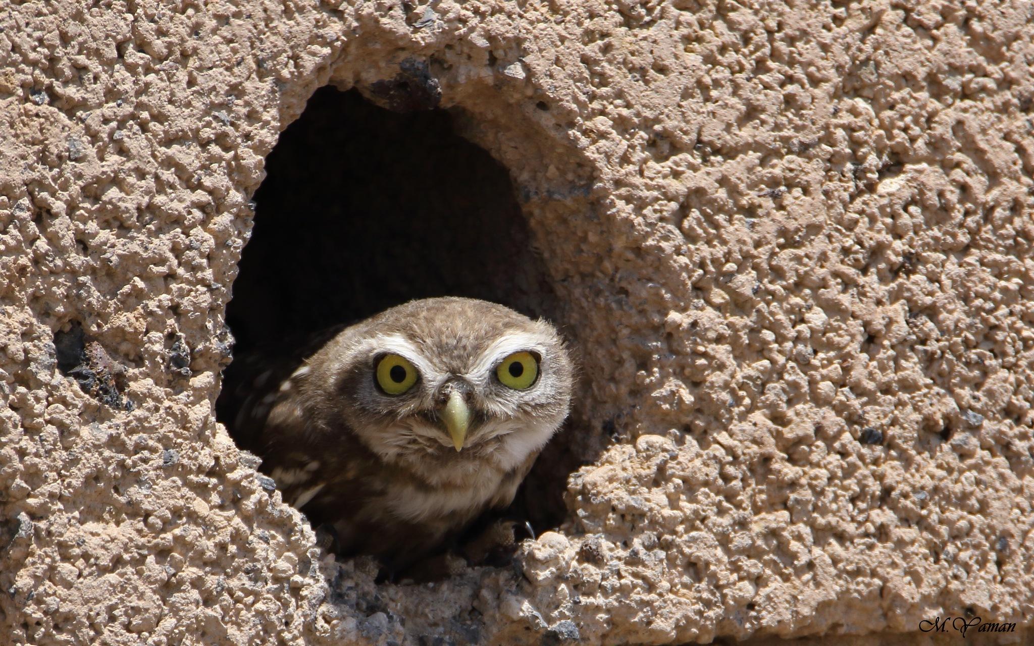 Little owl  by Mustafa Yaman