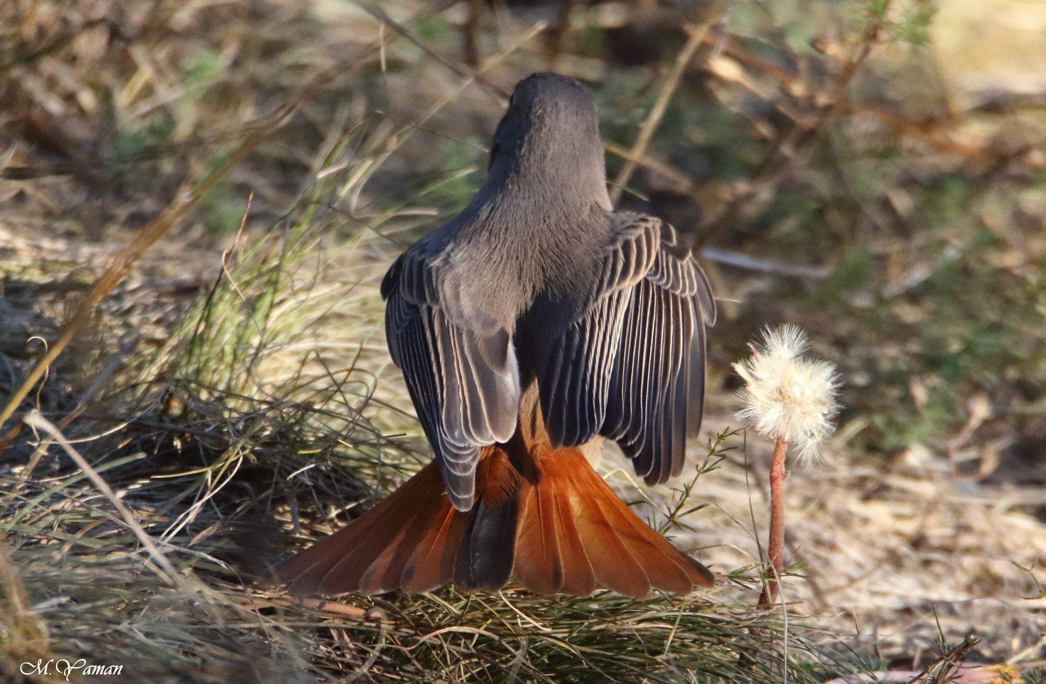 Black Redstart Opens its tail by Mustafa Yaman