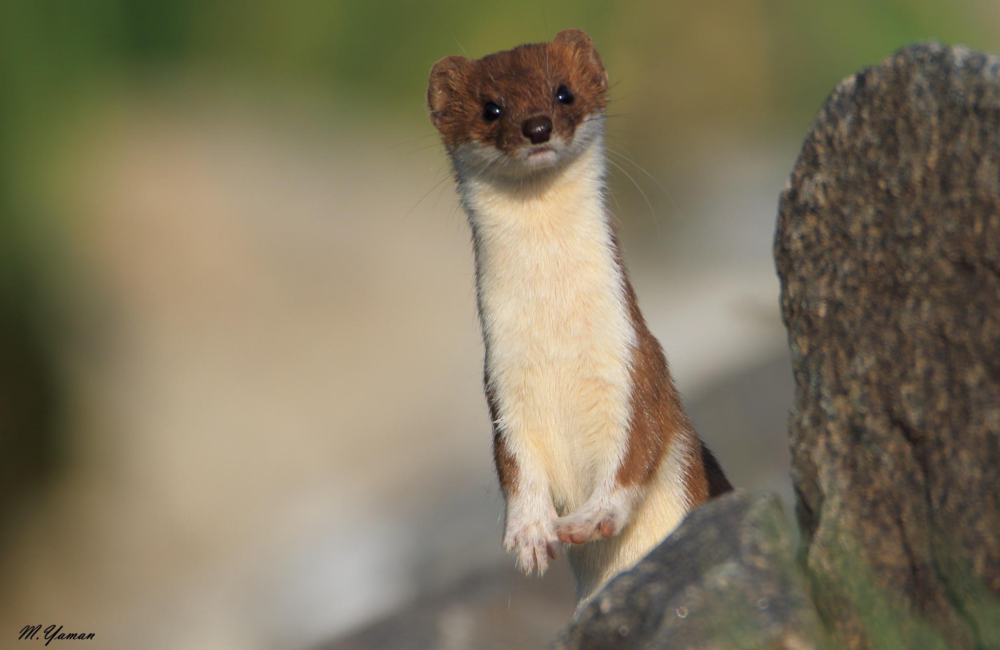 Gelincik / Least Weasel by Mustafa Yaman