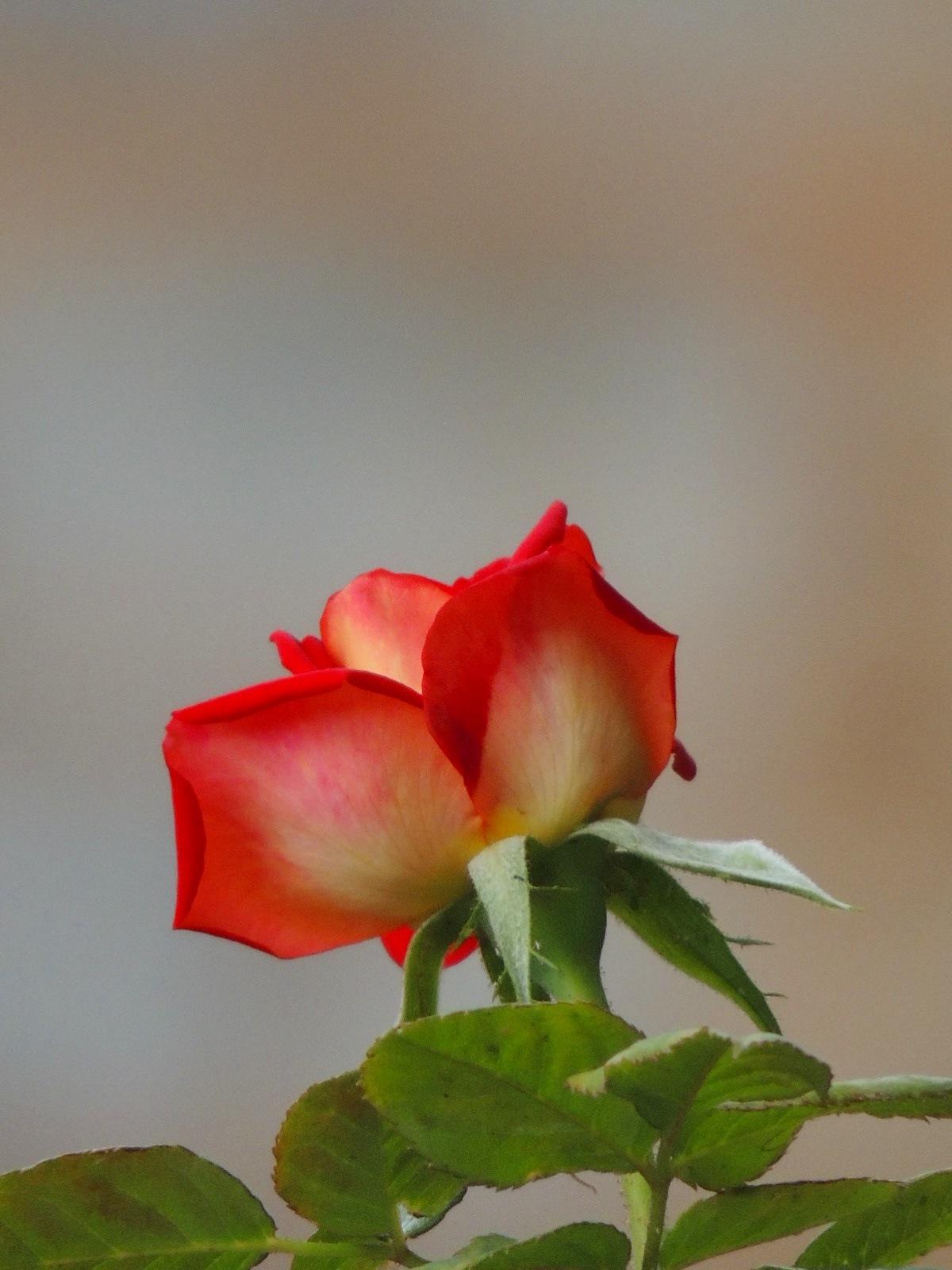 Rosa de duas cores by  Andréia