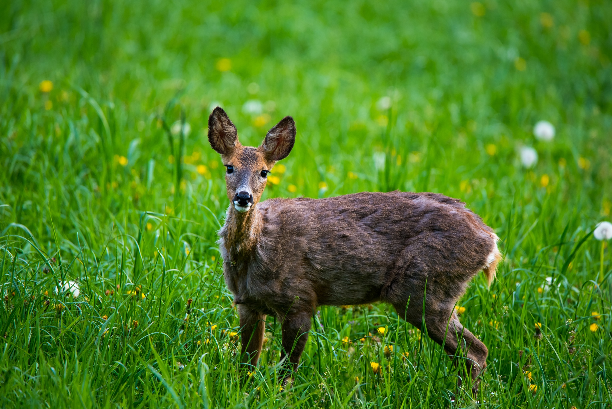 Doe looking at me by Philipp