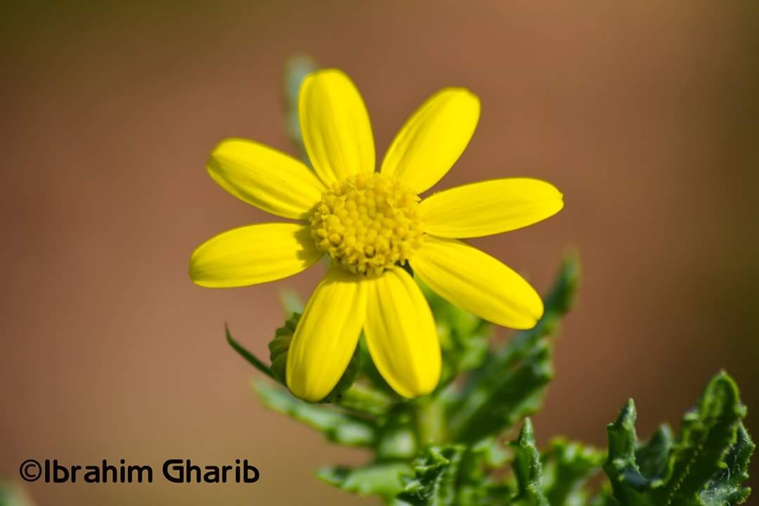 flower by Ibrahim Gharib
