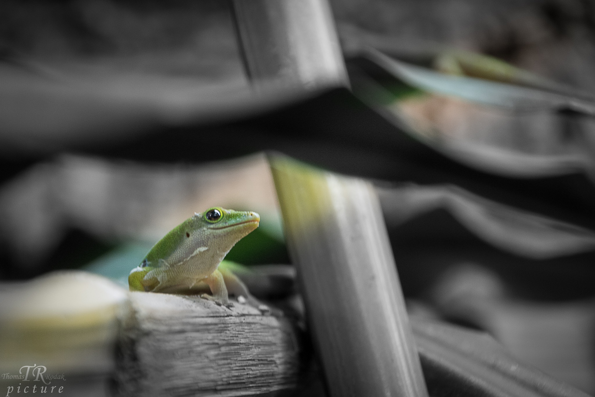 Gecko2 by TRPicture