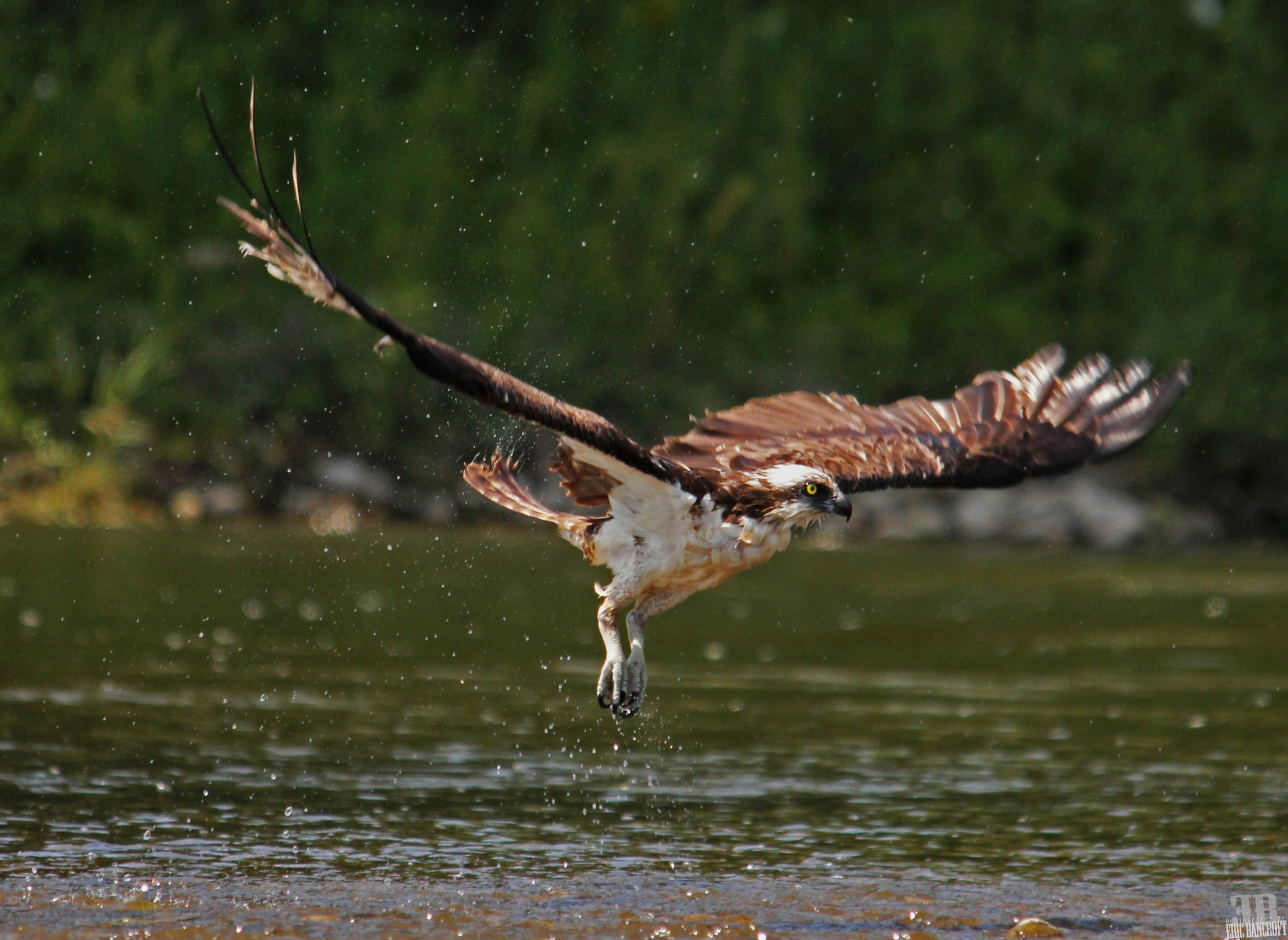 Osprey cooling of on a hot morning in KW. by Eric Bancroft
