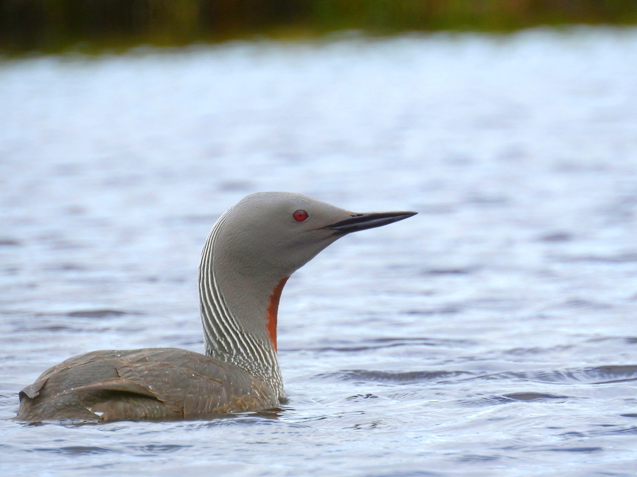 red throat diver by John Venters