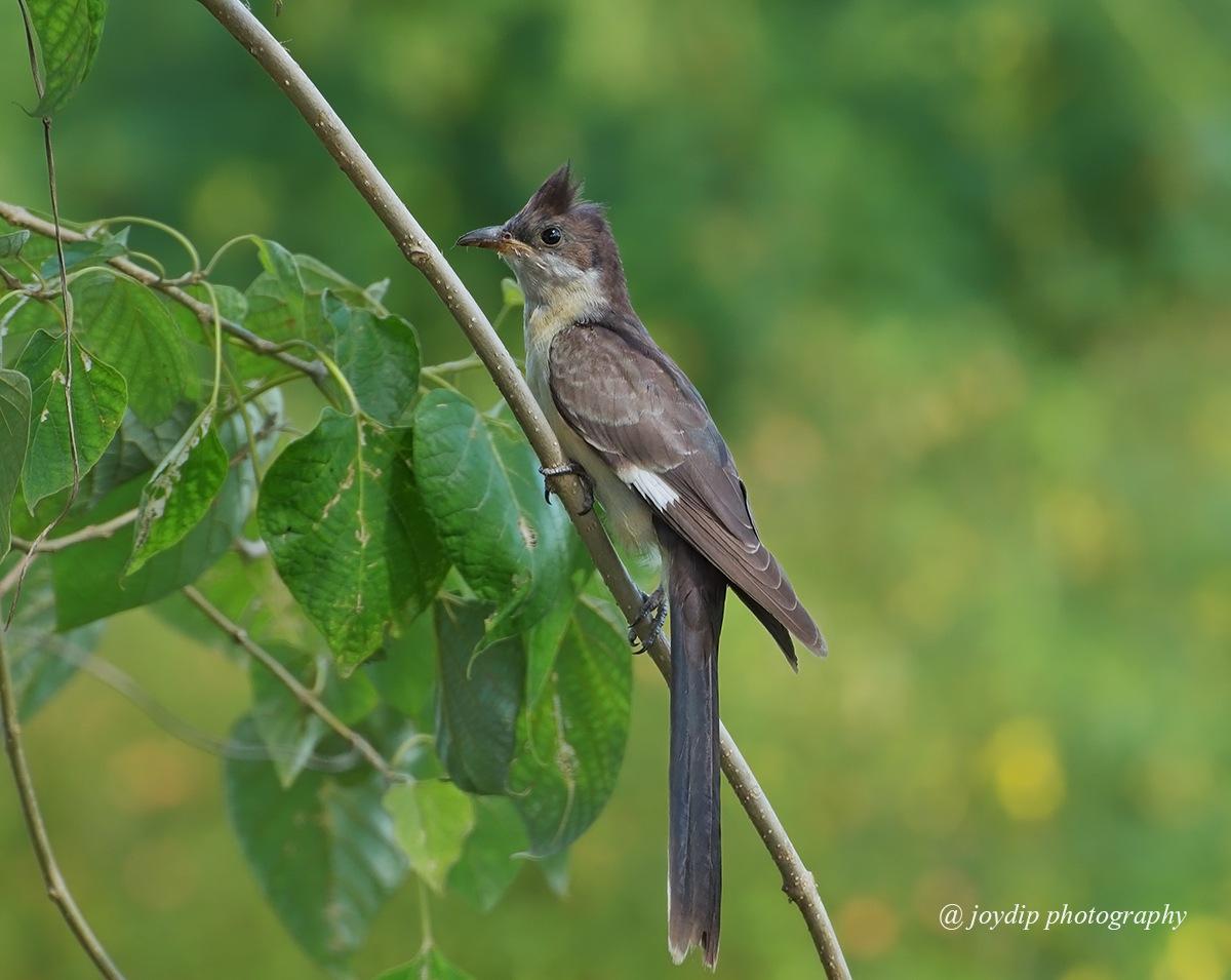 Jacobin Cuckoo ( Juvenile ) by joydip mukherjee