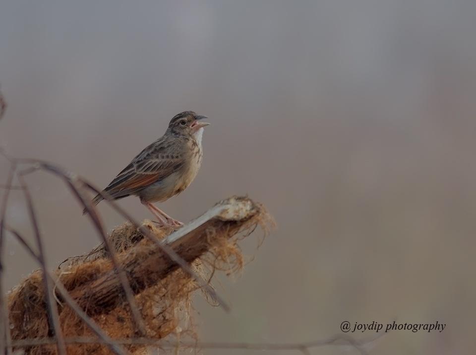 Bushlark by joydip mukherjee