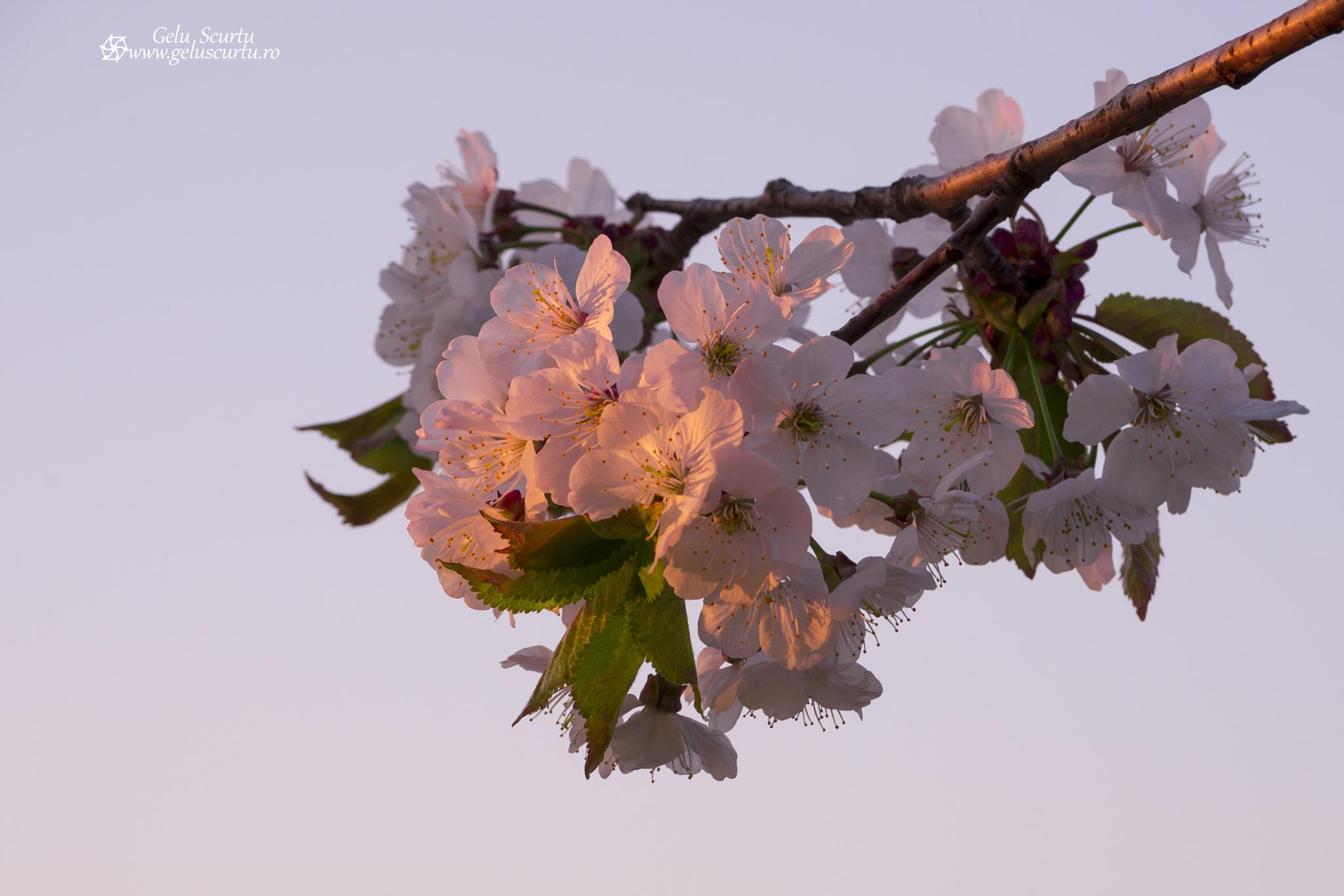 Photo in Nature #sunrise #flower #cherry #spring