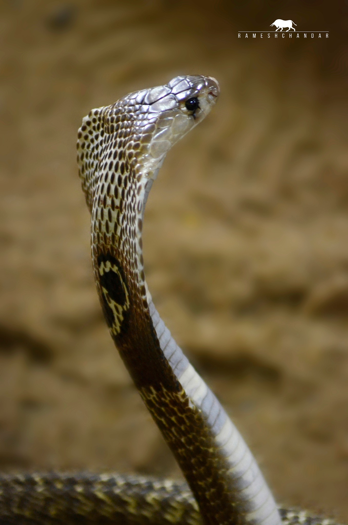 Cobra by rameshchandarr