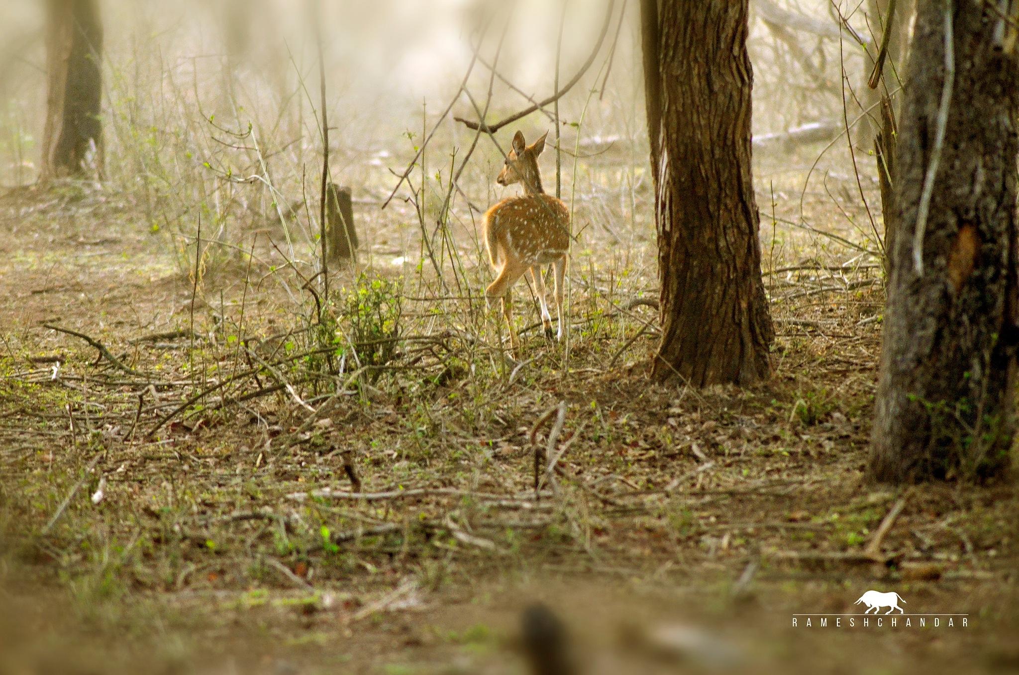 Spotted Deer by rameshchandarr