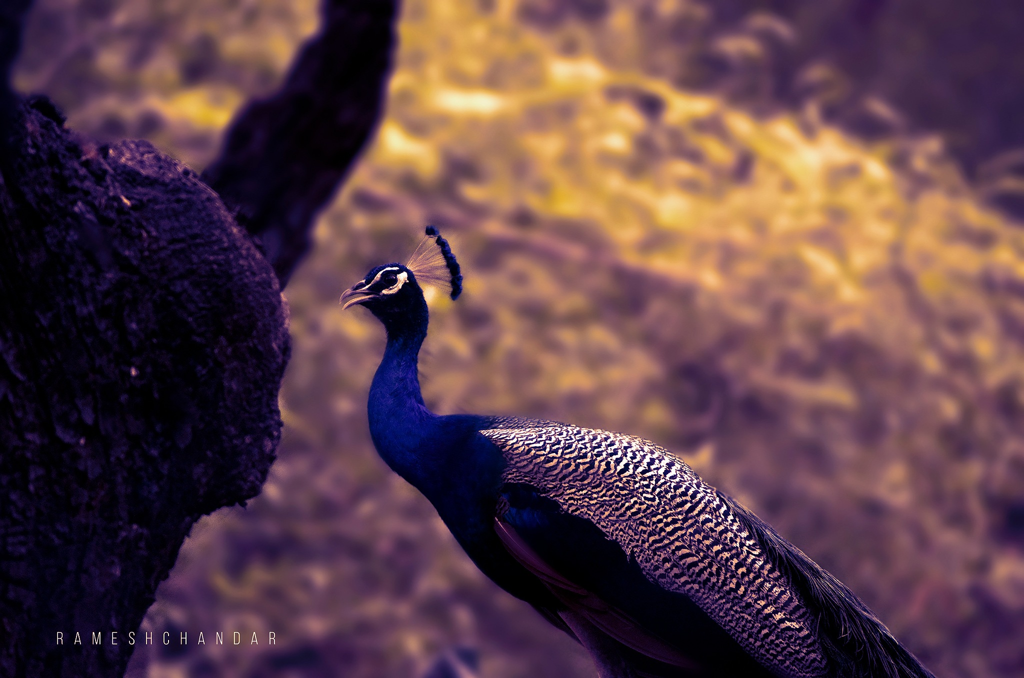 The Most Beautiful Peacock by rameshchandarr