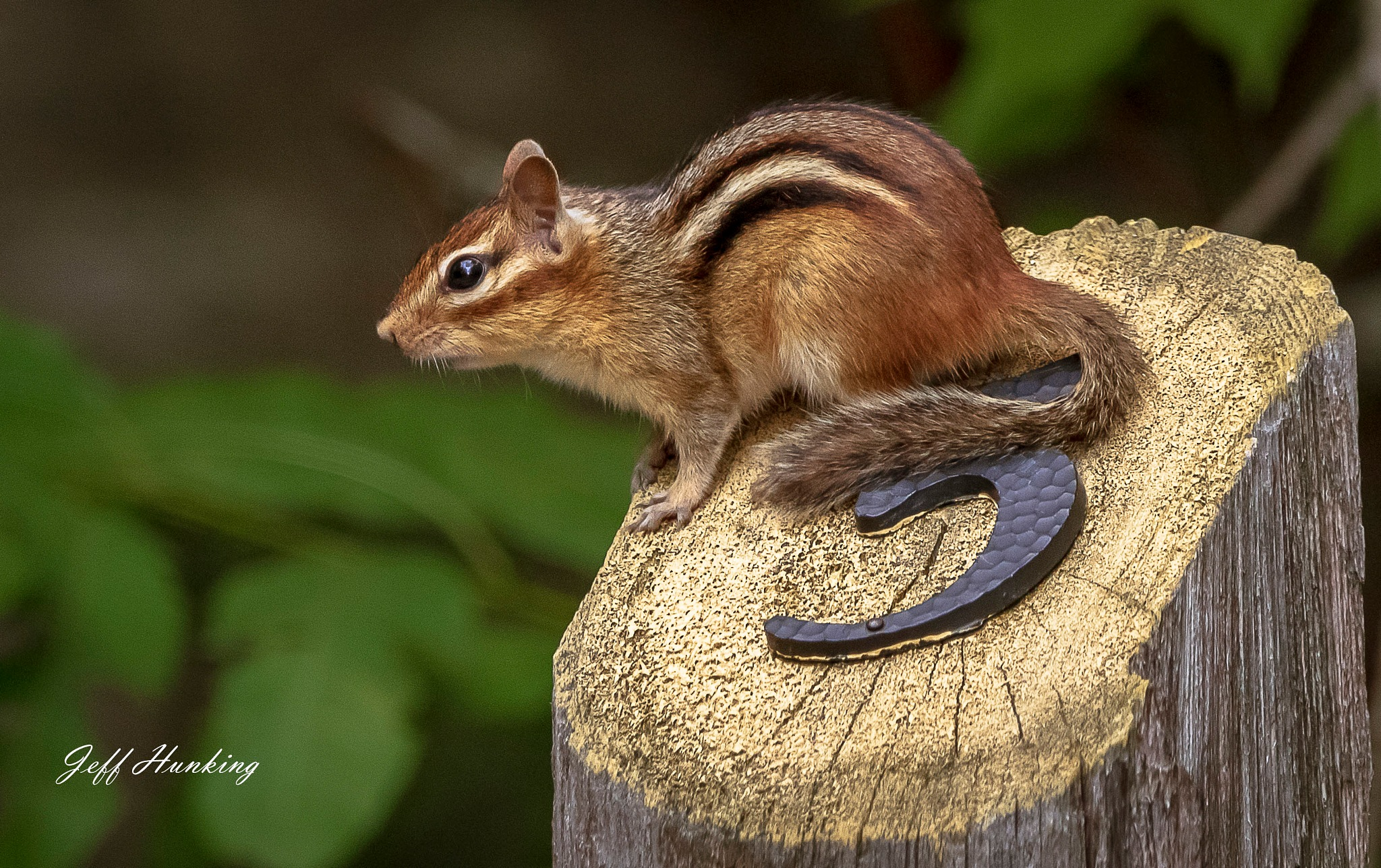 A post about a chipmunk by itsjustmynature
