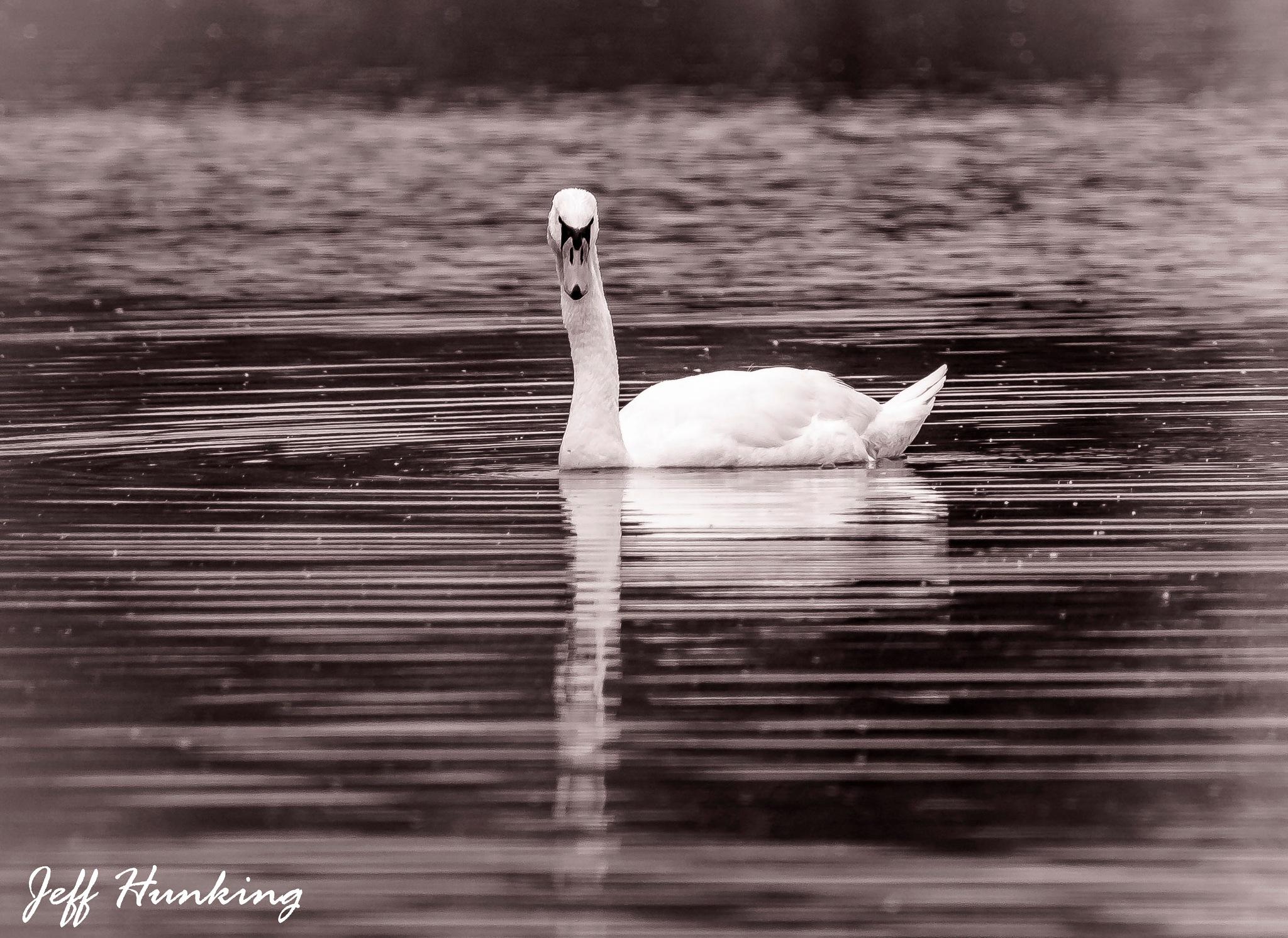 Swan by itsjustmynature
